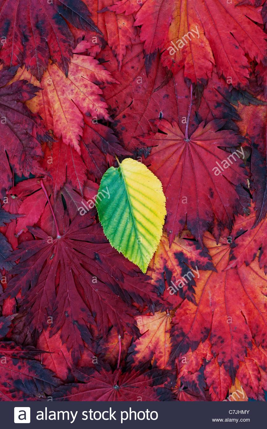 Blätter im Herbst. Japanischer Ahorn und anderen Blatt ändern die Farbe. Rot gelb grün Herbst-Blatt Stockbild