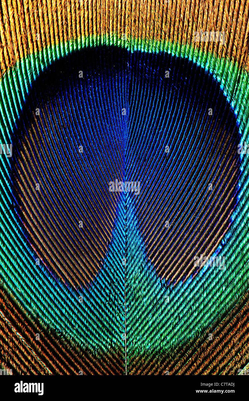 Detail einer Pfauenfeder hautnah Stockbild