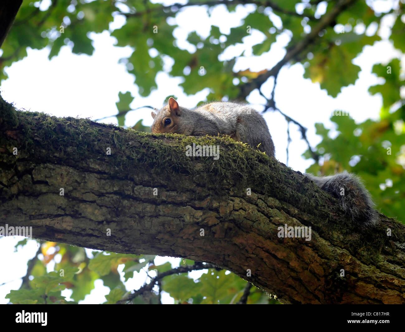 Ein Junge Eichhörnchen auf einem Baum relaxen Stockbild