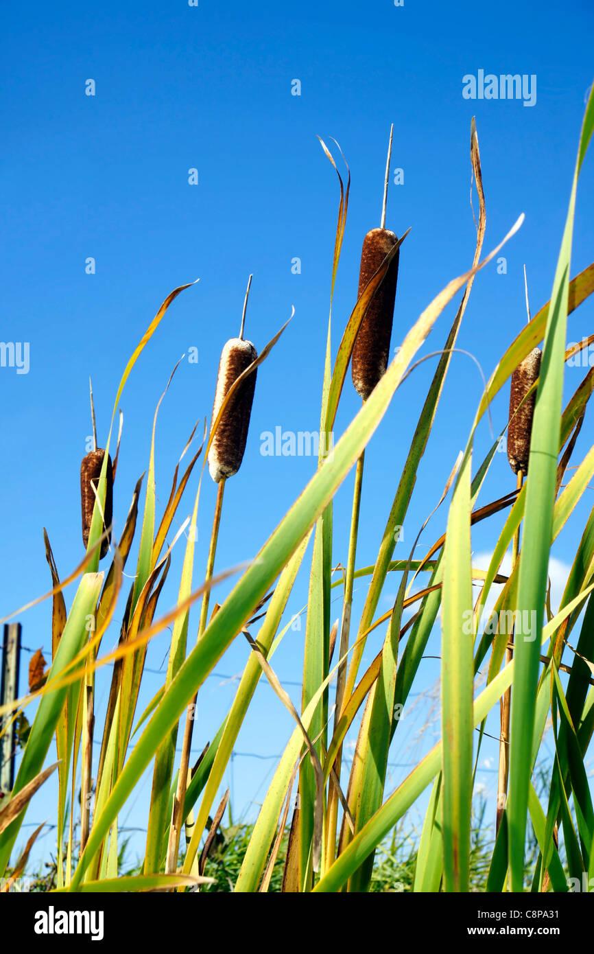 Schöne grüne Rohrkolben gegen strahlend blauen Himmel, die vertikale. Stockbild
