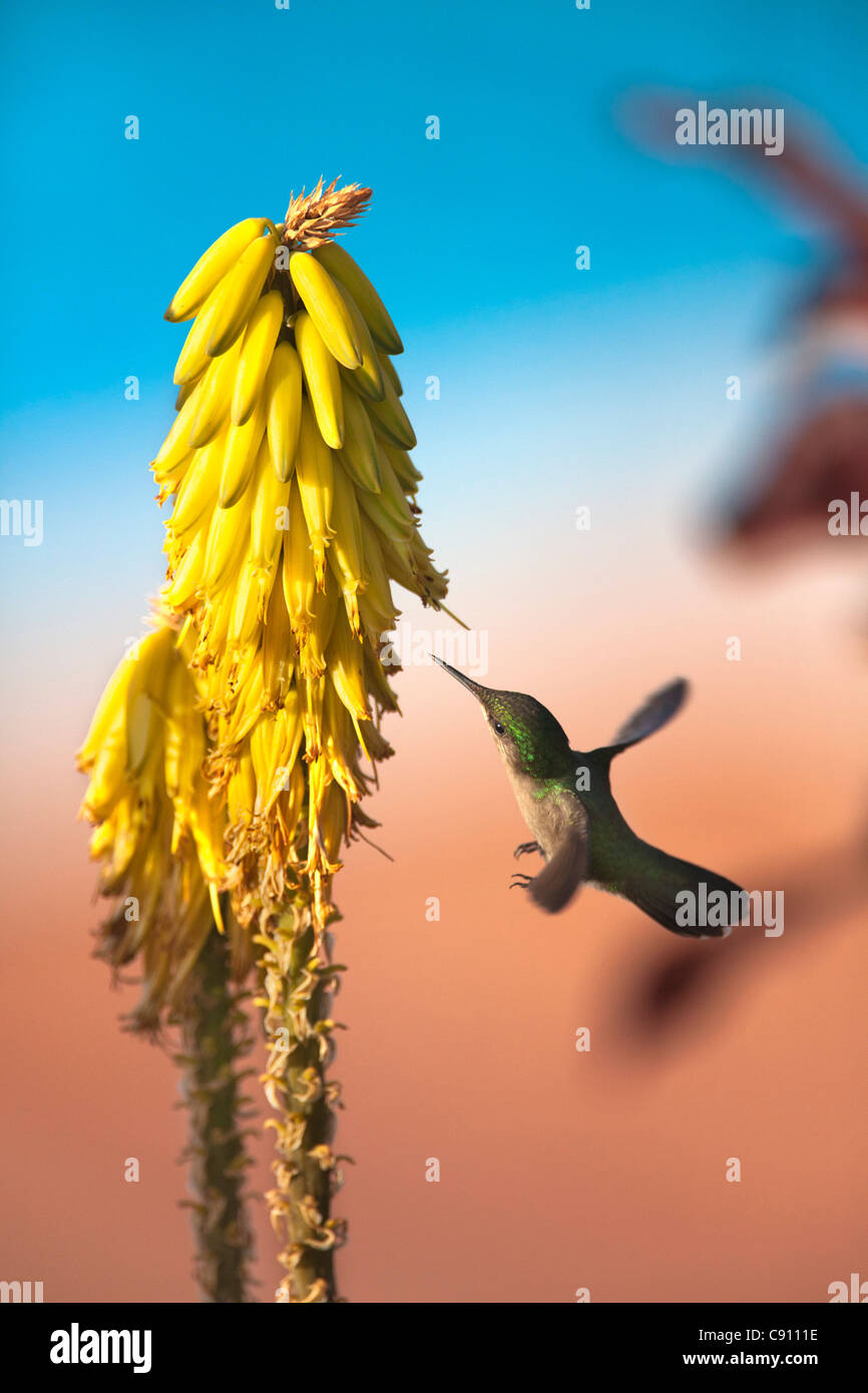 Den Niederlanden, Oranjestad, Sint Eustatius Insel, Niederländische Karibik. Antillean Crested Kolibri. Weiblich. Stockbild