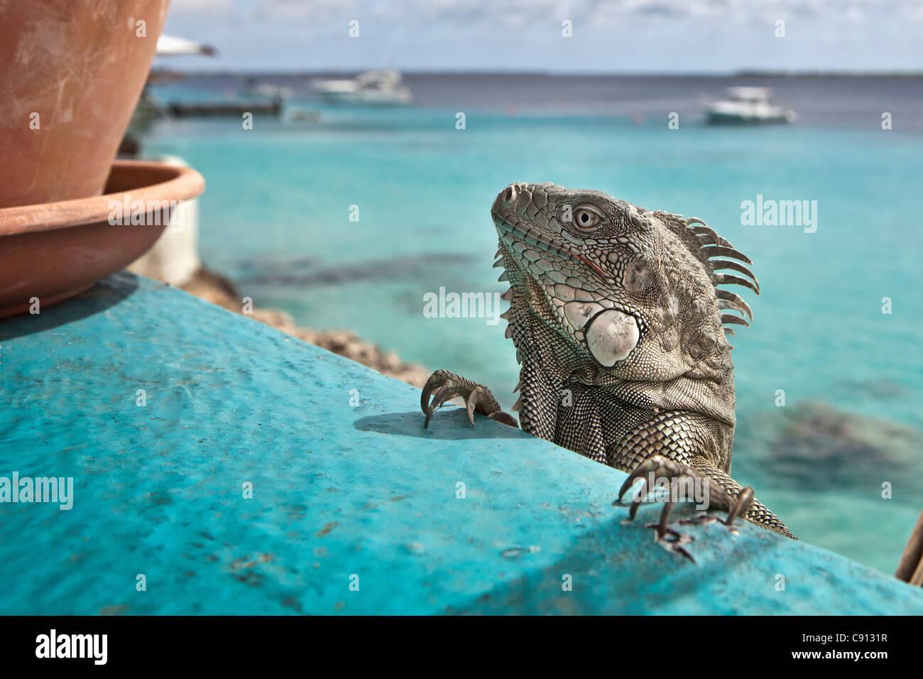 Die Niederlande, Insel Bonaire, Niederländische Karibik, Kralendijk, grüner Leguan (Iguana Iguana) in Stockbild