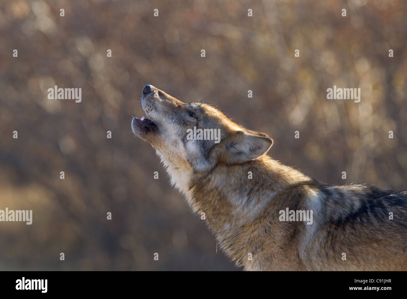 Grauer Wolf heulen, Ahsoka Nationalpark, innen Alaska, Herbst Stockbild