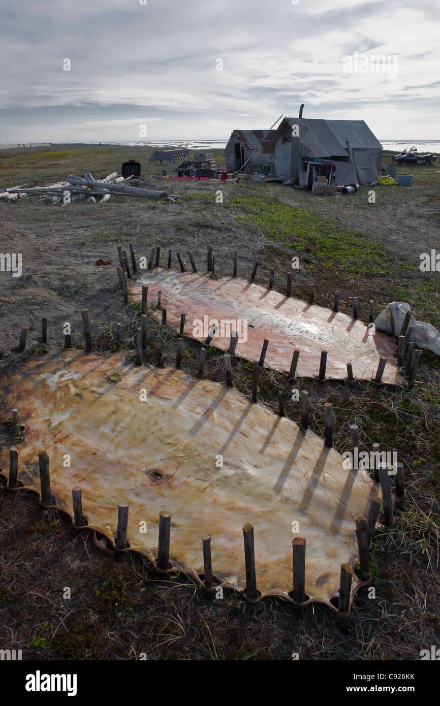 Bärtige Siegel verbirgt abgesteckt, in der Nähe von Familie Sommer Jagdlager, Insel Shishmaref, Arktis Stockbild