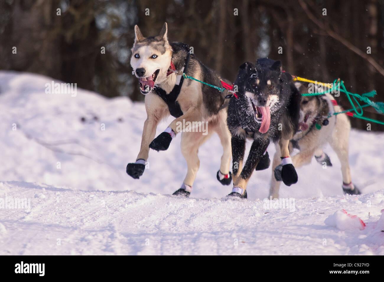 Zoya DeNure Blei Hunde laufen während der 2011 Iditarod zeremonielle Start in Anchorage, Alaska Yunan, Winter Stockbild