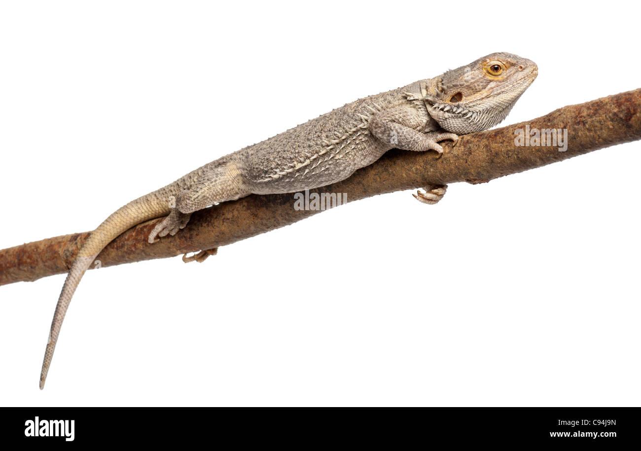 Pogona liegend auf einem Ast vor weißem Hintergrund Stockbild