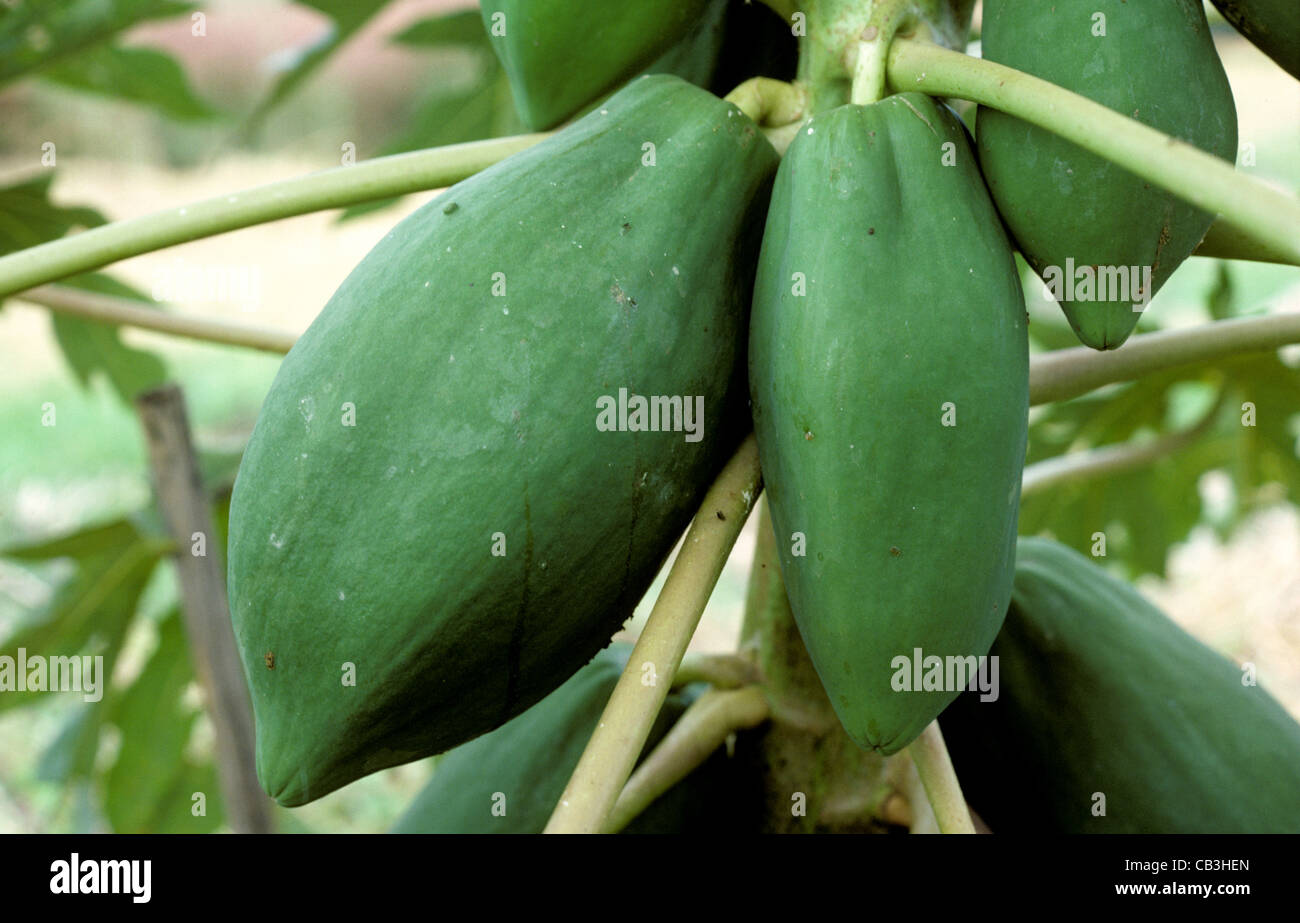 thailand papaya stockfotos thailand papaya bilder alamy. Black Bedroom Furniture Sets. Home Design Ideas