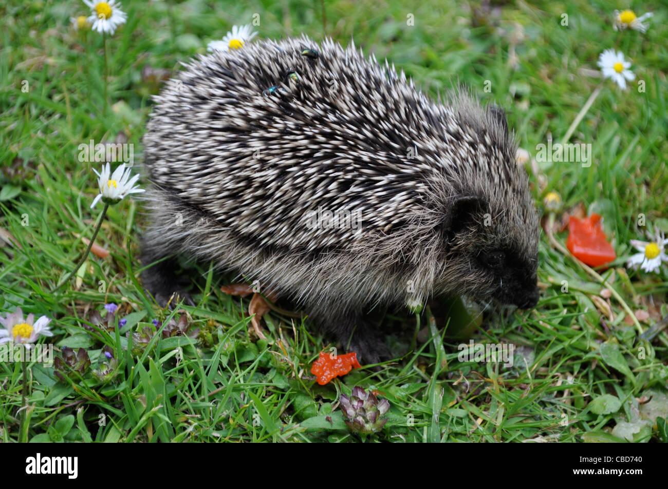 hedgehogs baby stockfotos hedgehogs baby bilder alamy. Black Bedroom Furniture Sets. Home Design Ideas