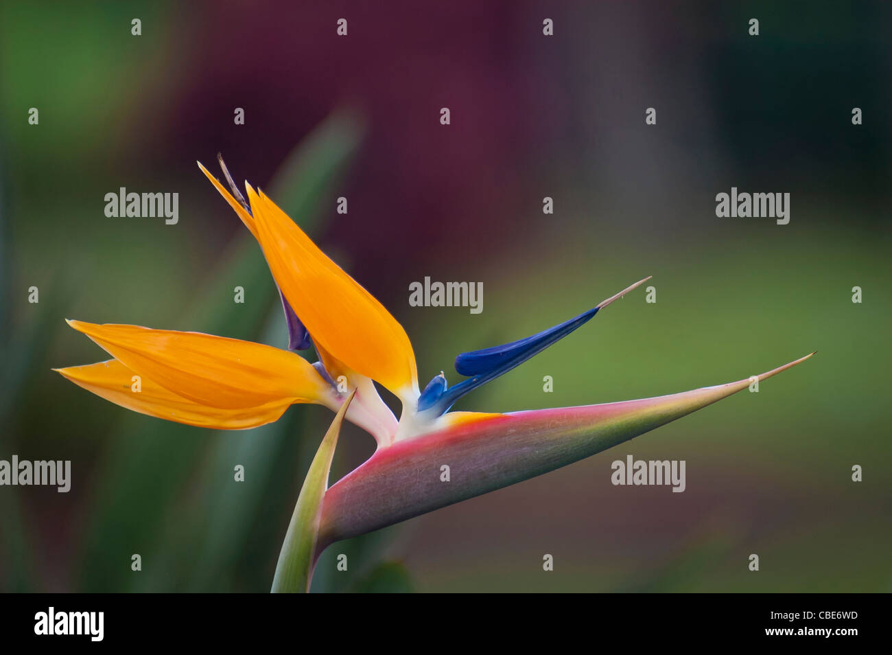 Paradiesvogel Blume (Strelitzia Reginae); Hawaii. Stockbild