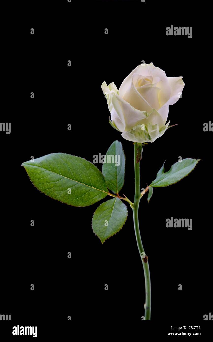 Weisse rose Nahaufnahme auf schwarzem Hintergrund Stockbild