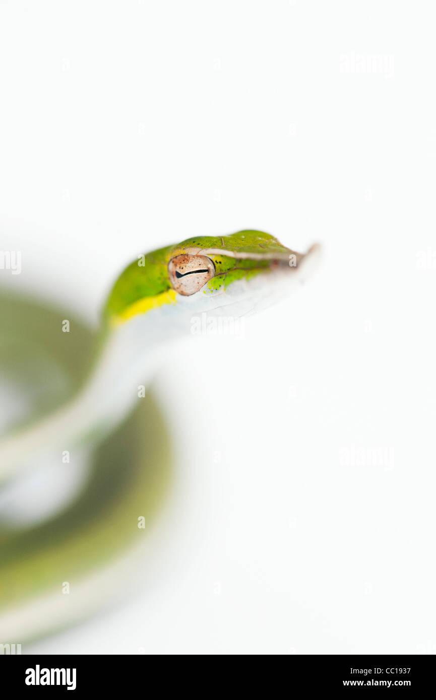 Ahaetulla Nasuta. Juvenile grüne Ranke Schlange auf weißem Hintergrund Stockbild