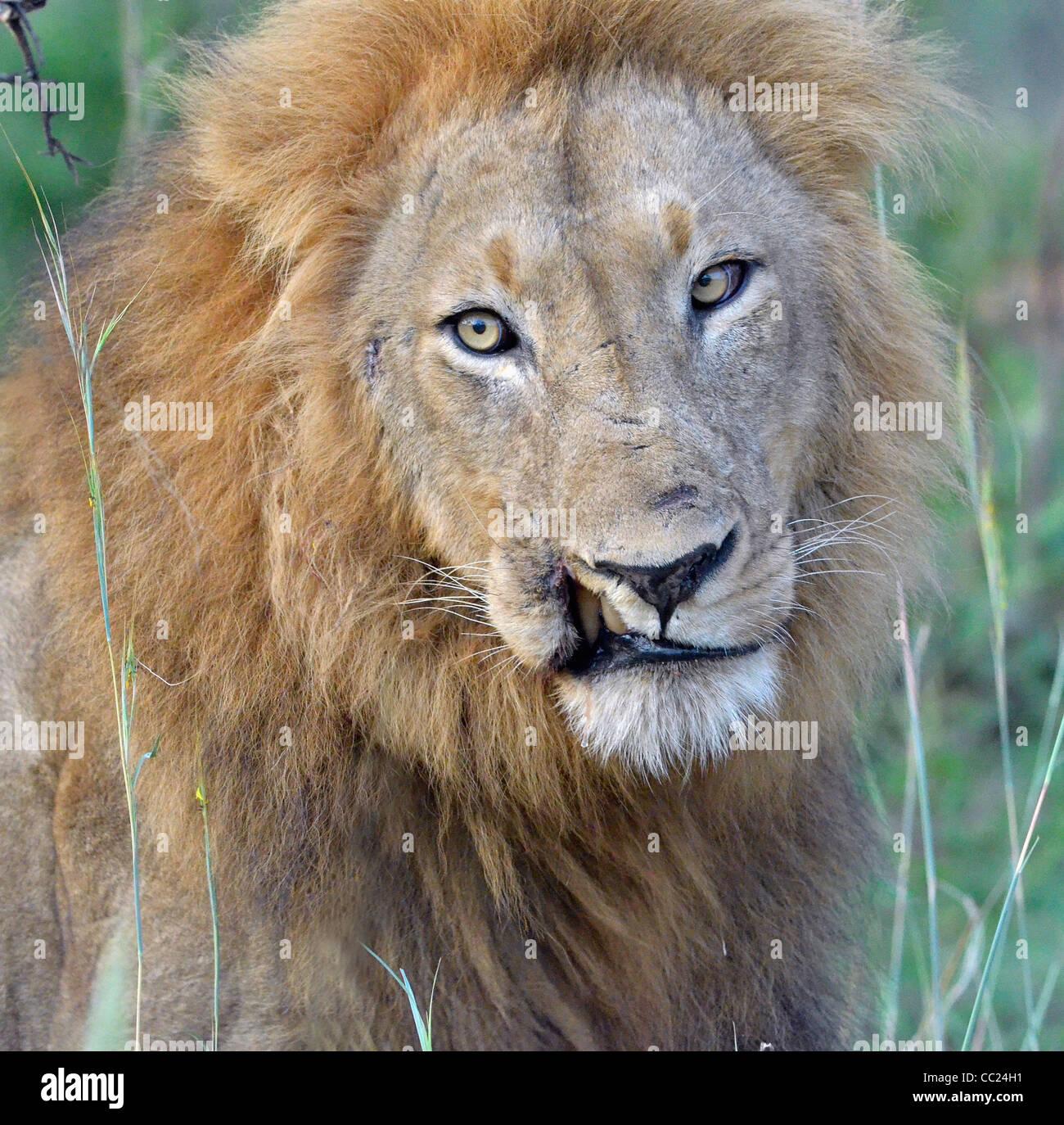 Krüger Nationalpark in Südafrika ist weltweit bekannt für Do it yourself Tierbeobachtungen zu erschwinglichen Stockbild