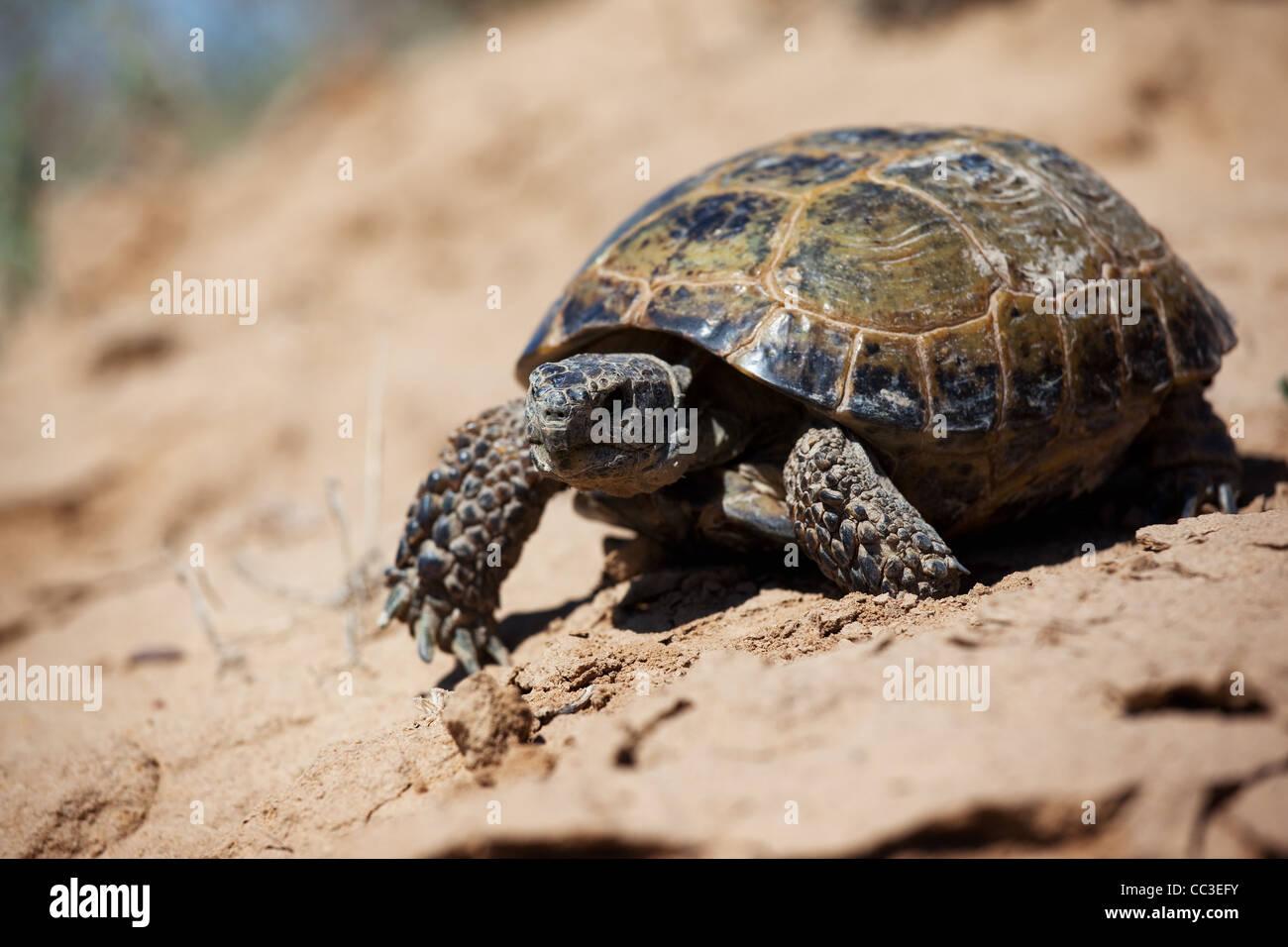 Steppe-Schildkröte (Testudo (Agrionemys) Horsfieldii) Stockbild