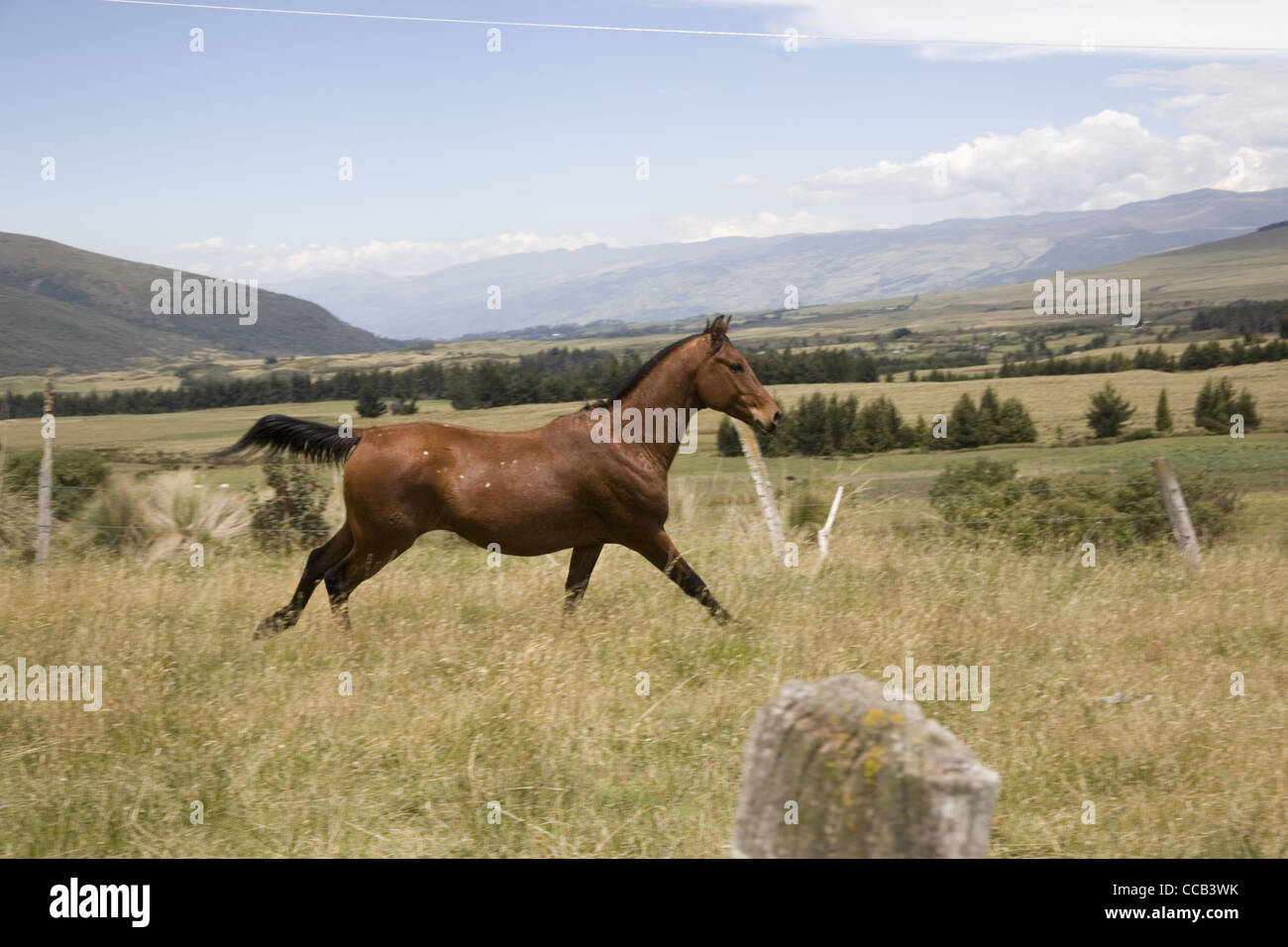 Ecuador Cotopaxi El Porvenir Hacienda criollo Pferd Stockbild