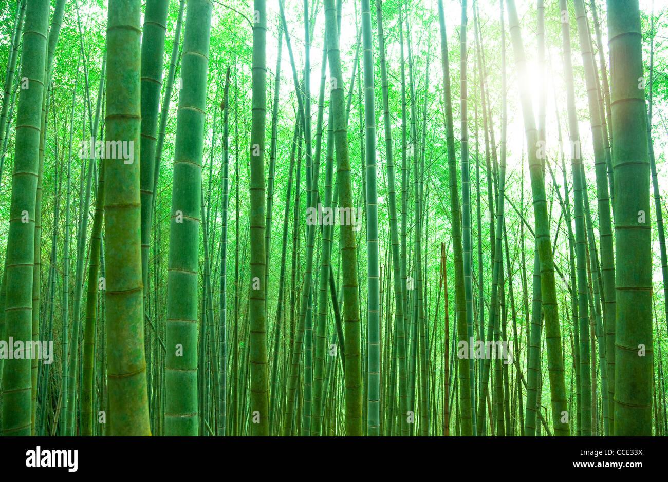 grüner Bambuswald mit Sonnenlicht Stockbild