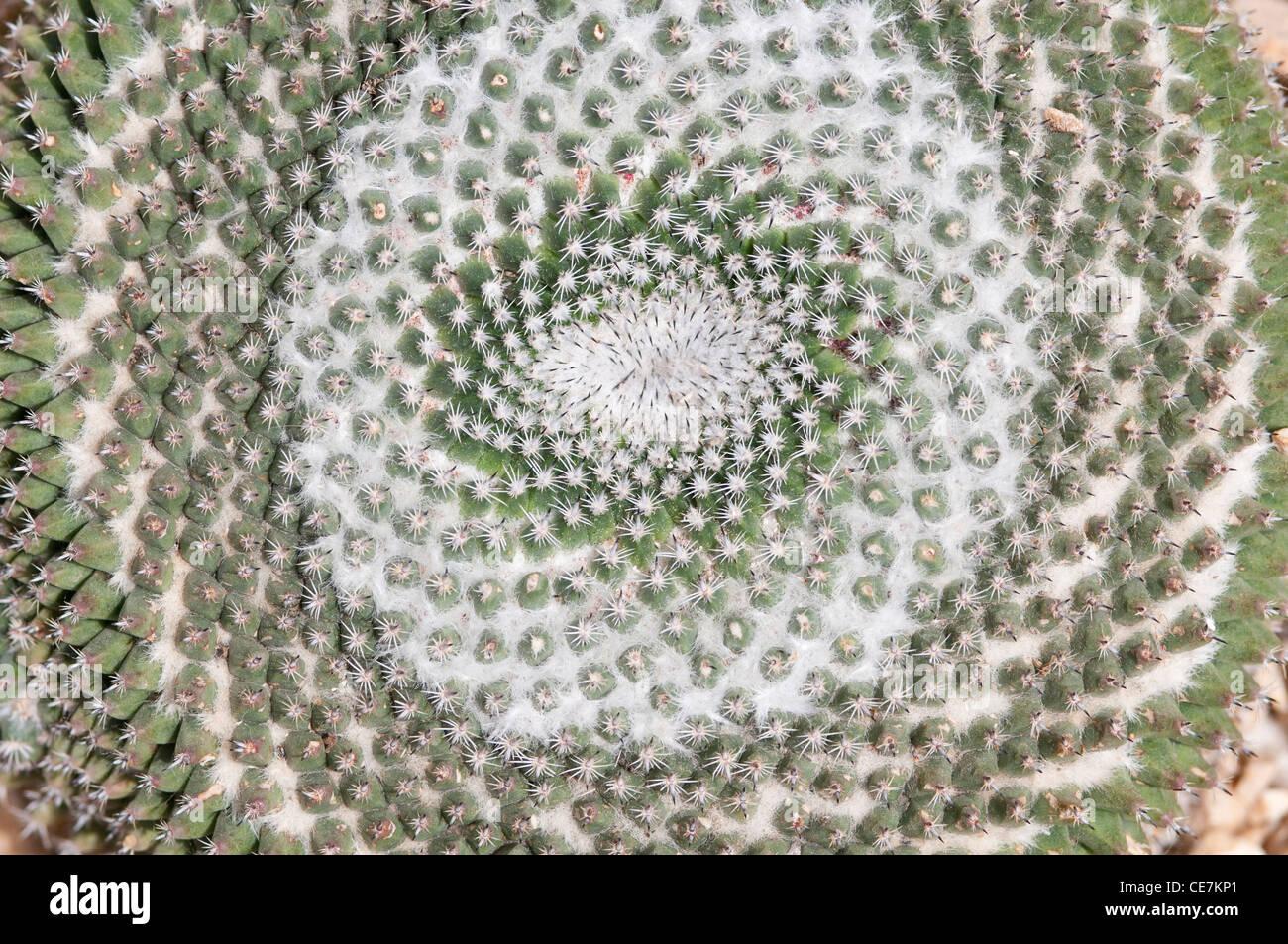 Close-up Draufsicht Spirale Muster der alten Dame Nadelkissen Kaktus, Mammillaria Hahniana. Stockbild