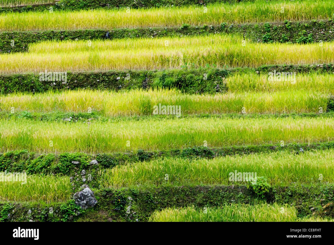 eine Seitenansicht der Reisterrassen in Philippinen. Stockfoto