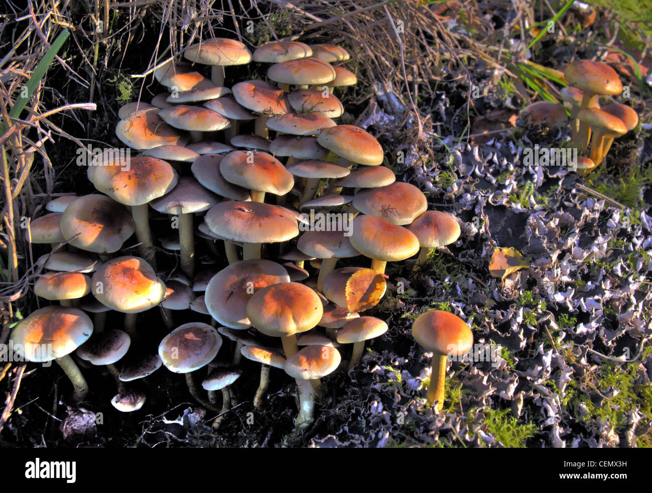 Laden Sie dieses Alamy Stockfoto Sulphur Tuft Pilze bei Grappenhall Hays ummauerten Garten, South Warrington, Cheshire, UK. Boden Sie liegend Herbst, tiefstehende Sonne Herbst - CEMX3H
