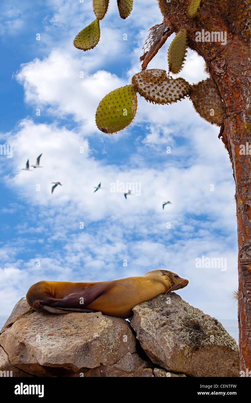 Seelöwen auf Santa Fe, Galapagos ruht Stockbild