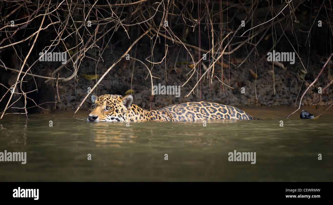 Wilde männliche Jaguar schwimmen entlang der Ränder der Piquiri River, ein Nebenfluss des Cuiaba Fluss, Stockbild
