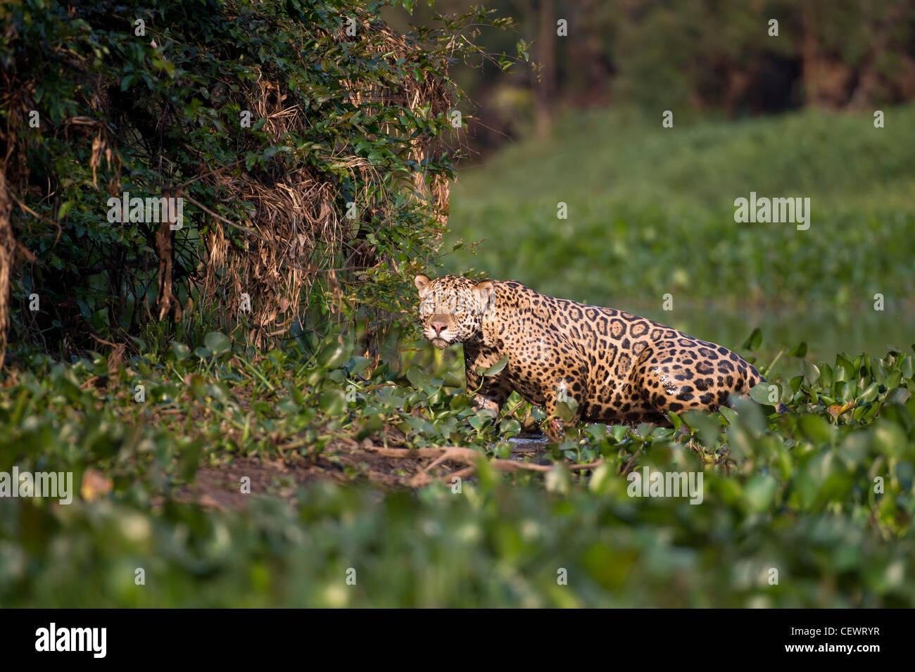 Wilde männliche Jaguar aus Wasserhyazinthe am Rande der ein Nebenfluss des Cuiaba Fluss, nördliche Pantanal, Stockbild