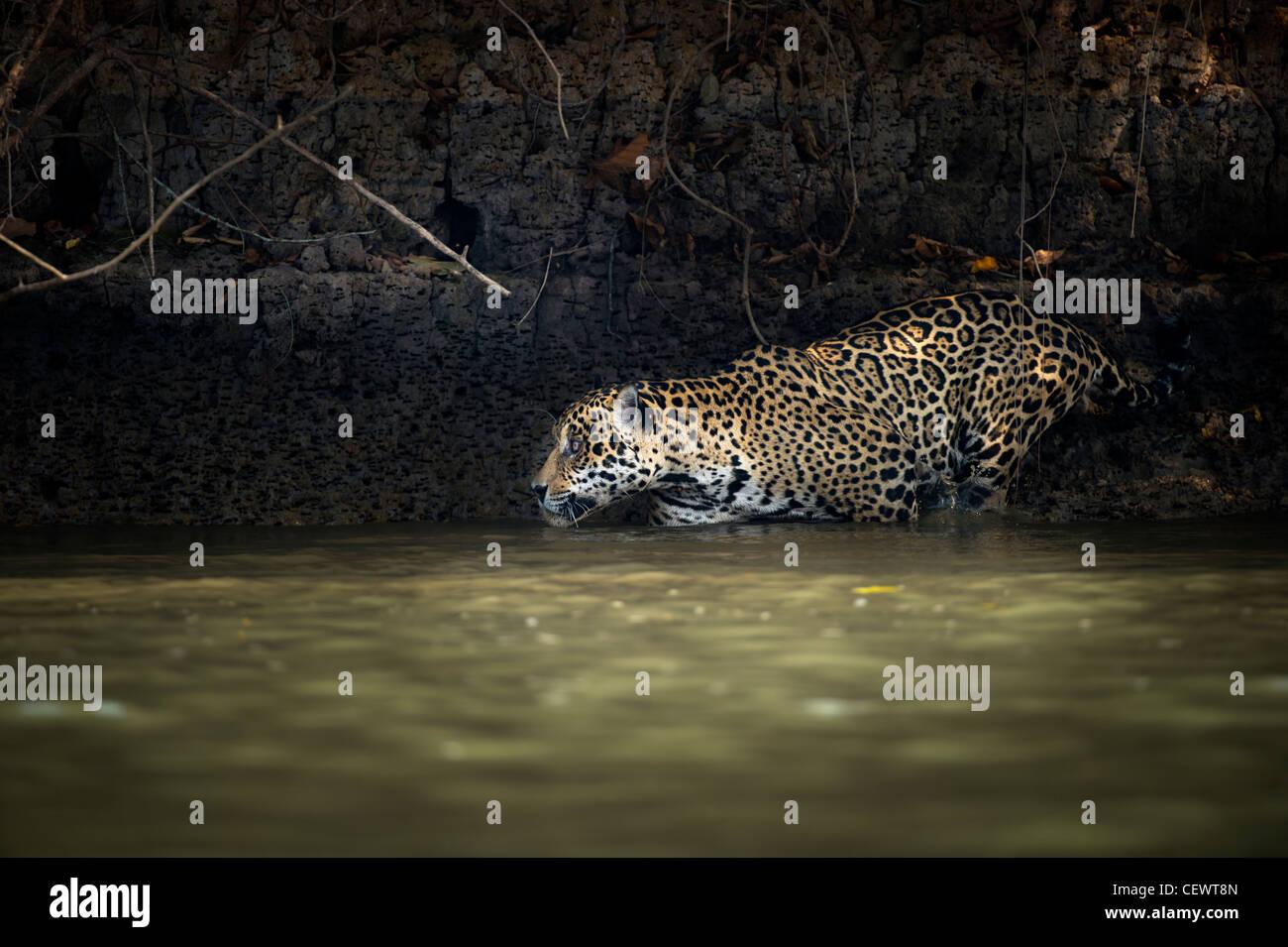 Wilde männliche Jaguar (Panthera Onca Palustris) Eingabe Piquiri River, ein Nebenfluss des Cuiaba Fluss, nördliche Stockbild