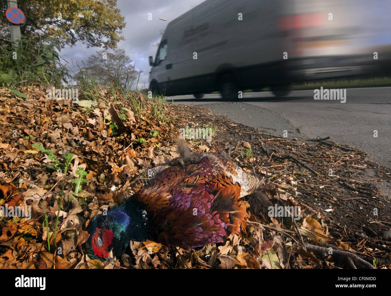 Laden Sie dieses Alamy Stockfoto Roadkill - ein Fasan durch einen vorbeifahrenden weißen van, A556 Chester zu Manchester Straße getötet. Cheshire, England, GB, Großbritannien - CF0MDD