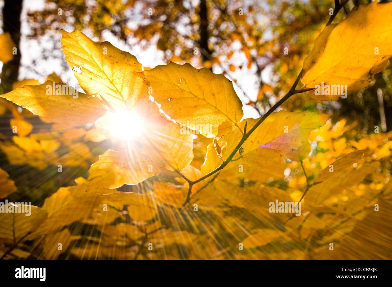 Sonne durch die goldenen Blätter einer Buche im Herbst. Stockbild