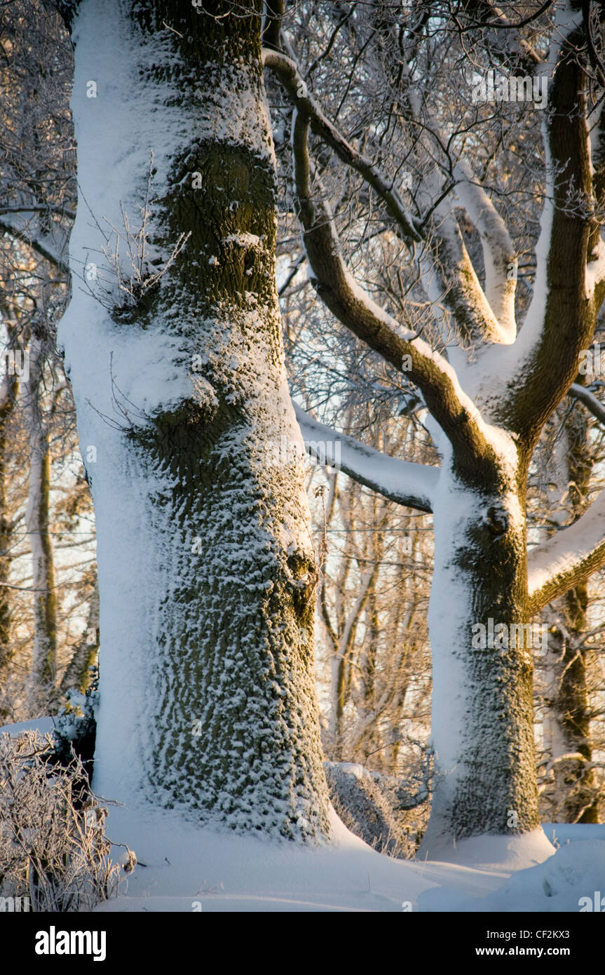 Wald in den Scottish Borders mit Schnee bedeckt. Stockbild