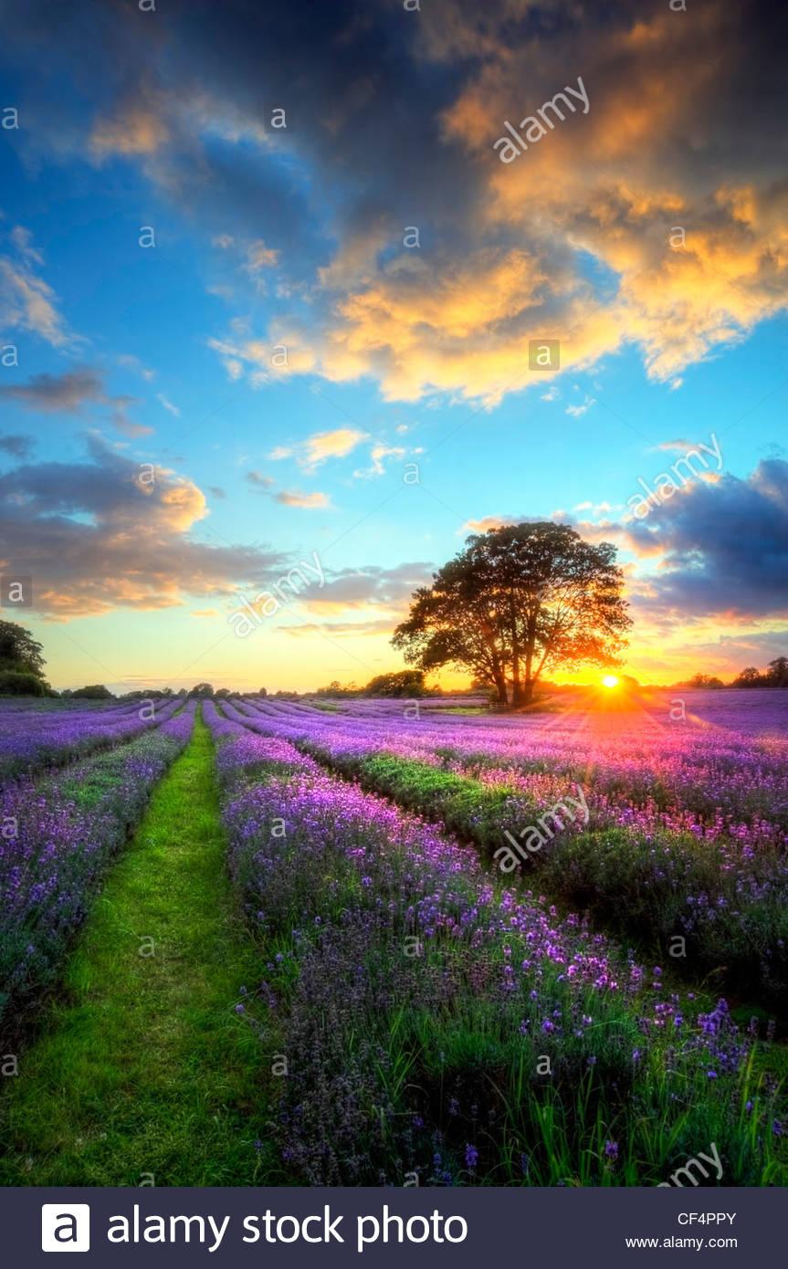 Die untergehende Sonne wirft Lichtstrahlen über Lavendel wächst in einem Feld. Stockbild
