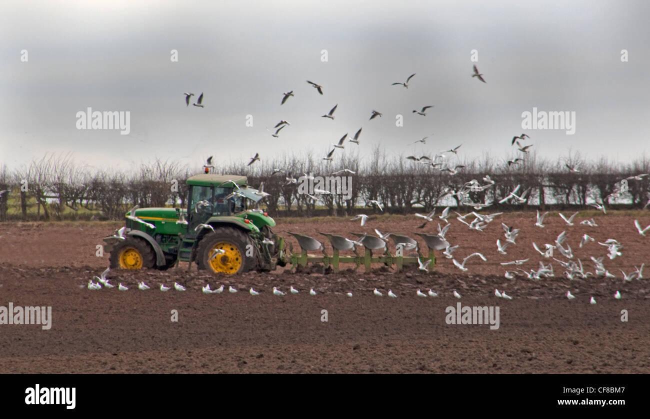 Laden Sie dieses Alamy Stockfoto Landwirt in Traktor Pflügen Feld im Frühjahr, gefolgt von Vögel in Lymm, Cheshire, England UK - CF8BM7