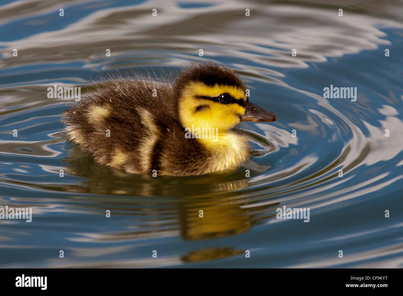 Eine süße Entlein erstellen kräuselt sich in lokalen Teich (Battersea Park - London). Stockbild