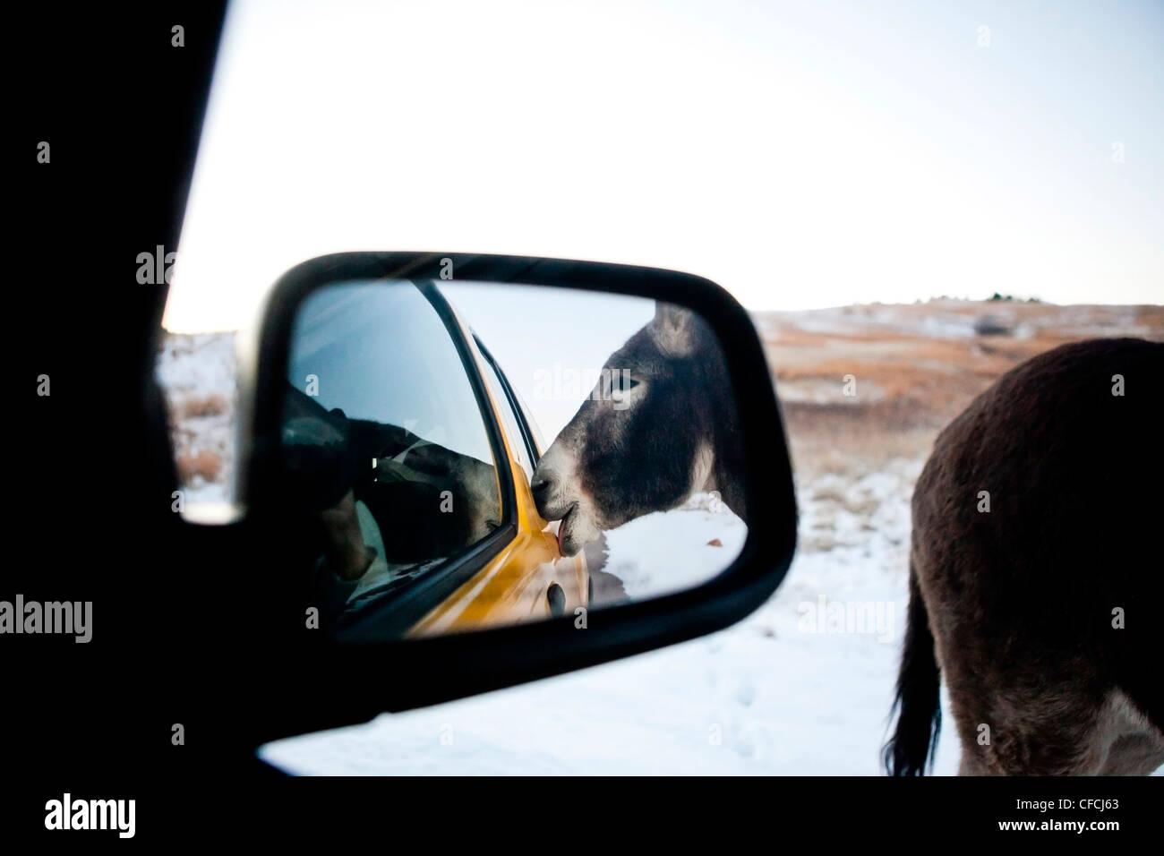 Ein wilder Esel bittet um Köstlichkeiten aus unserem Fahrzeug-Fenster während der Fahrt die Wildlife Loop Stockbild