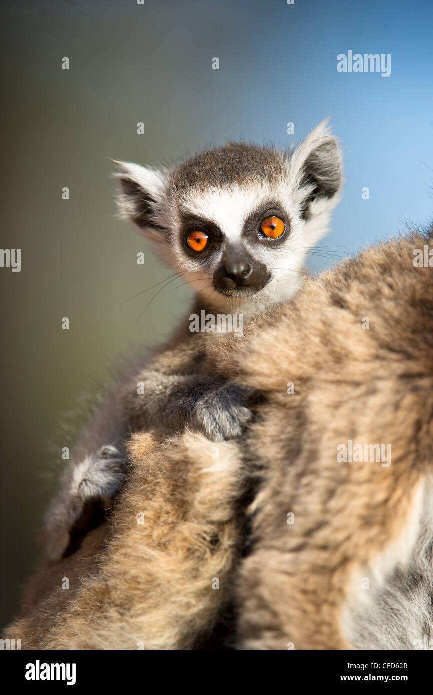 Infant Ring-tailed Lemur (6-8 Wochen) klammerte sich an Mutter. Berenty Private Reserve, Süd-Madagaskar Stockbild