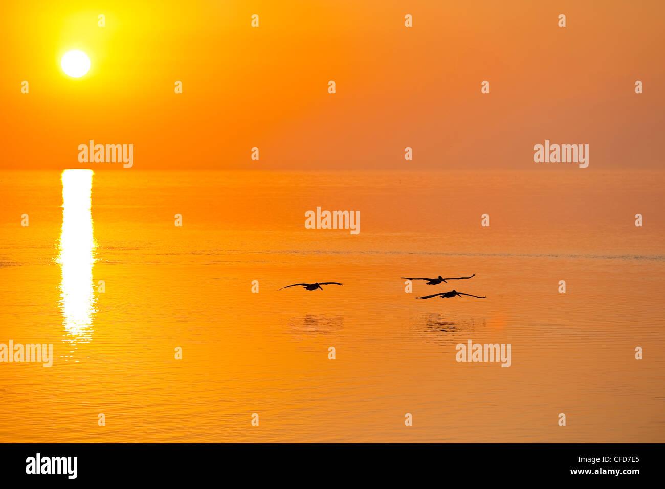 Drei braune Pelikane bei Sonnenaufgang, Florida Keys, Florida, Vereinigte Staaten von Amerika. Stockbild