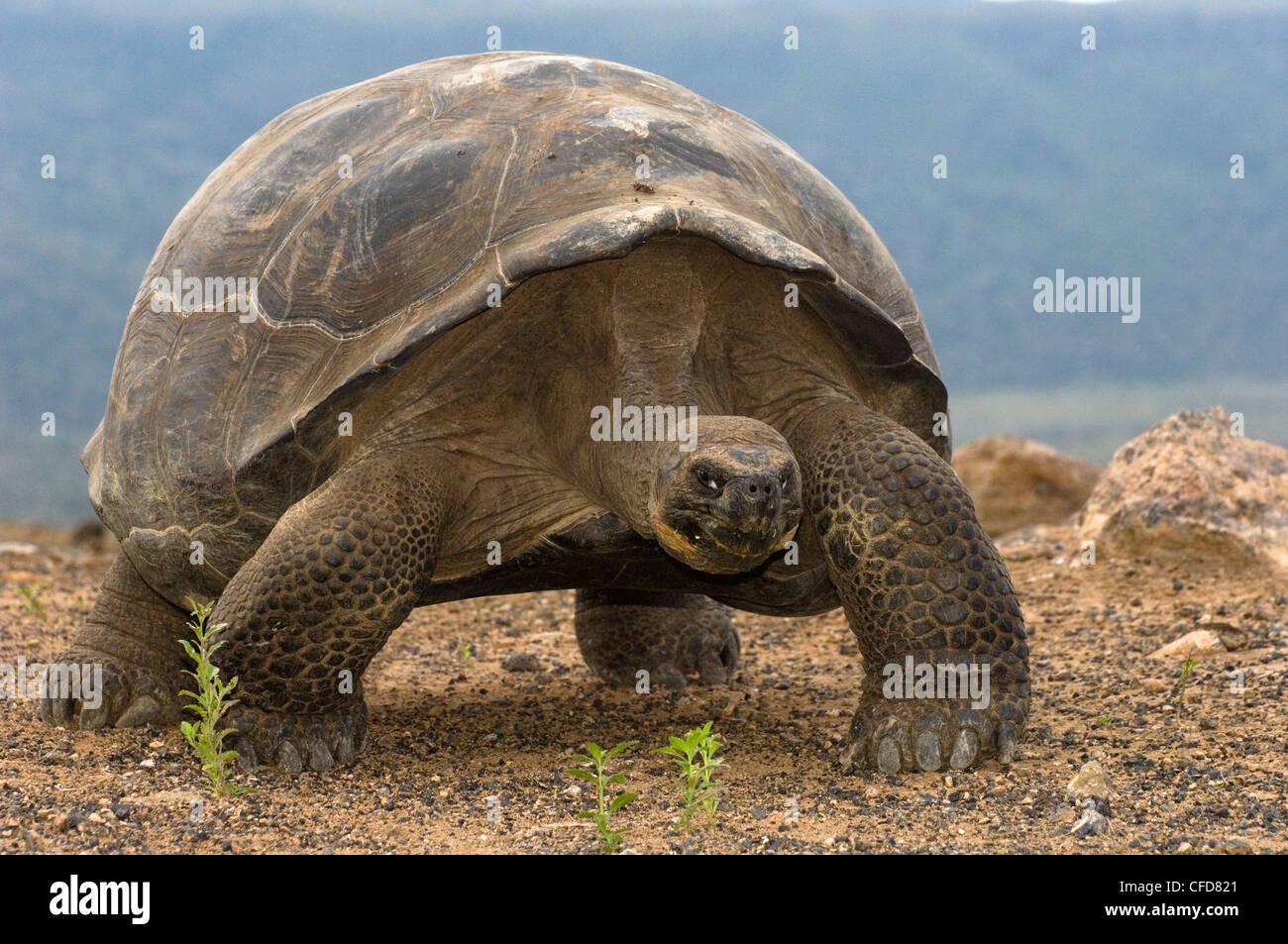 Galapagos-Riesenschildkröte, Alcedo Vulkans Kraterboden, Isabela Island, Galapagos-Inseln, Ecuador, Südamerika. Stockbild