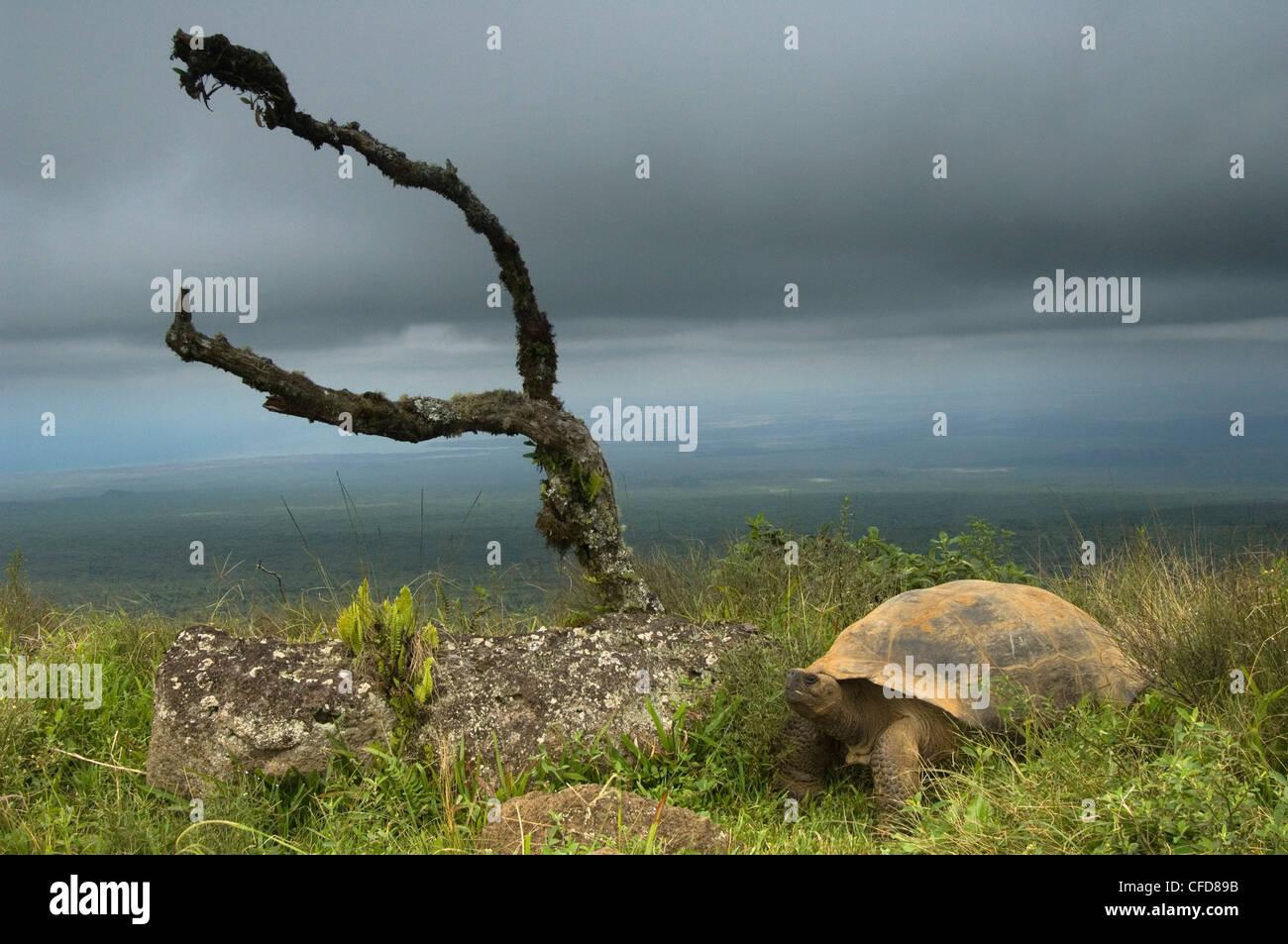 Galapagos-Riesenschildkröte am Rand des Vulkan Alcedo, Isabela Island, Galapagos-Inseln, Ecuador, Südamerika. Stockbild
