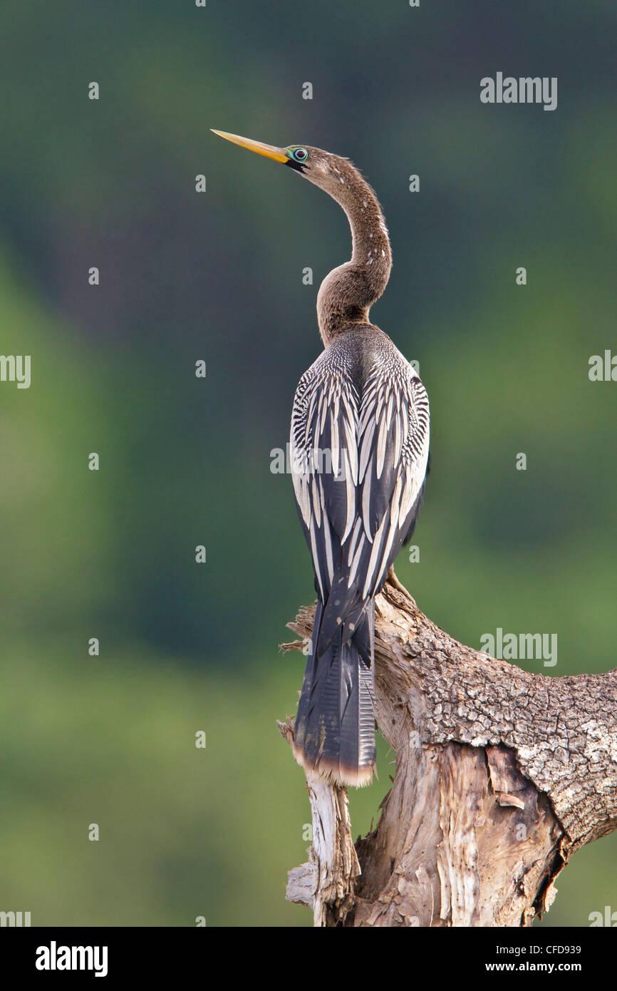 Anhinga (Anhinga Anhinga) thront auf einem Ast in Costa Rica. Stockbild
