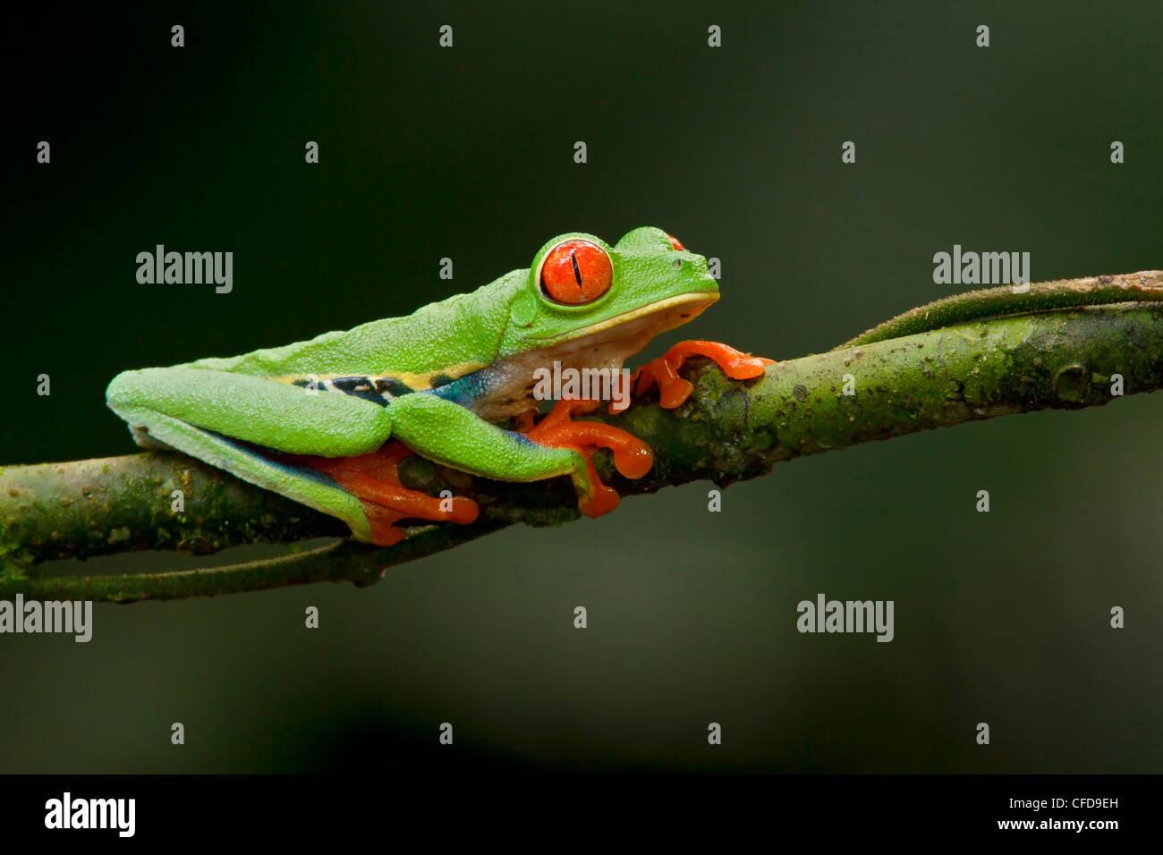 Rotäugigen Baumfrosch thront auf einem Ast in Costa Rica. Stockbild
