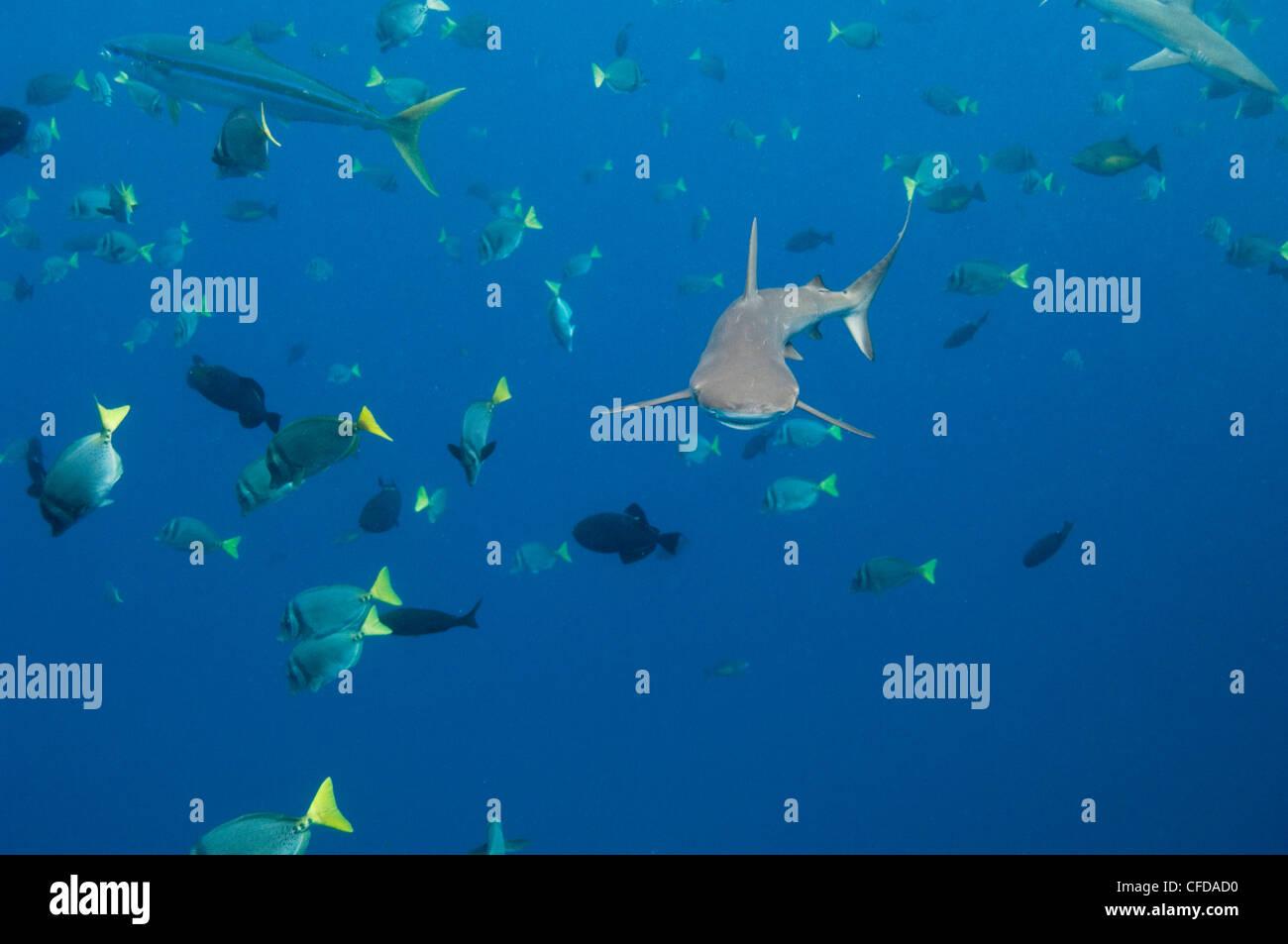 Galapagos Hai aus Wolf Island, Galapagos-Inseln, Ecuador, Südamerika. Stockbild