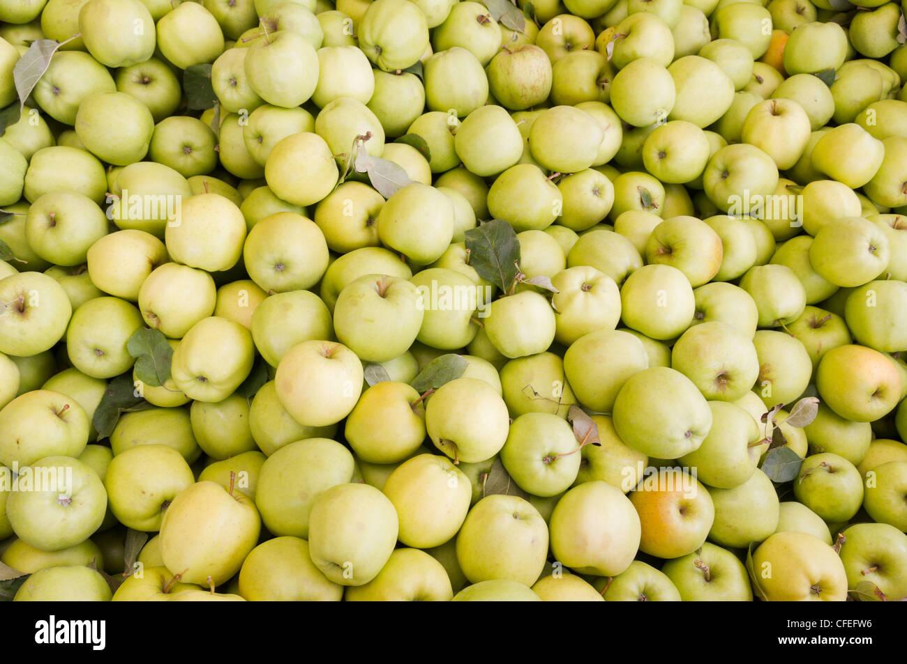 Frisch geerntete bunte goldene Äpfel auf dem Display auf dem Bauernmarkt Stockbild