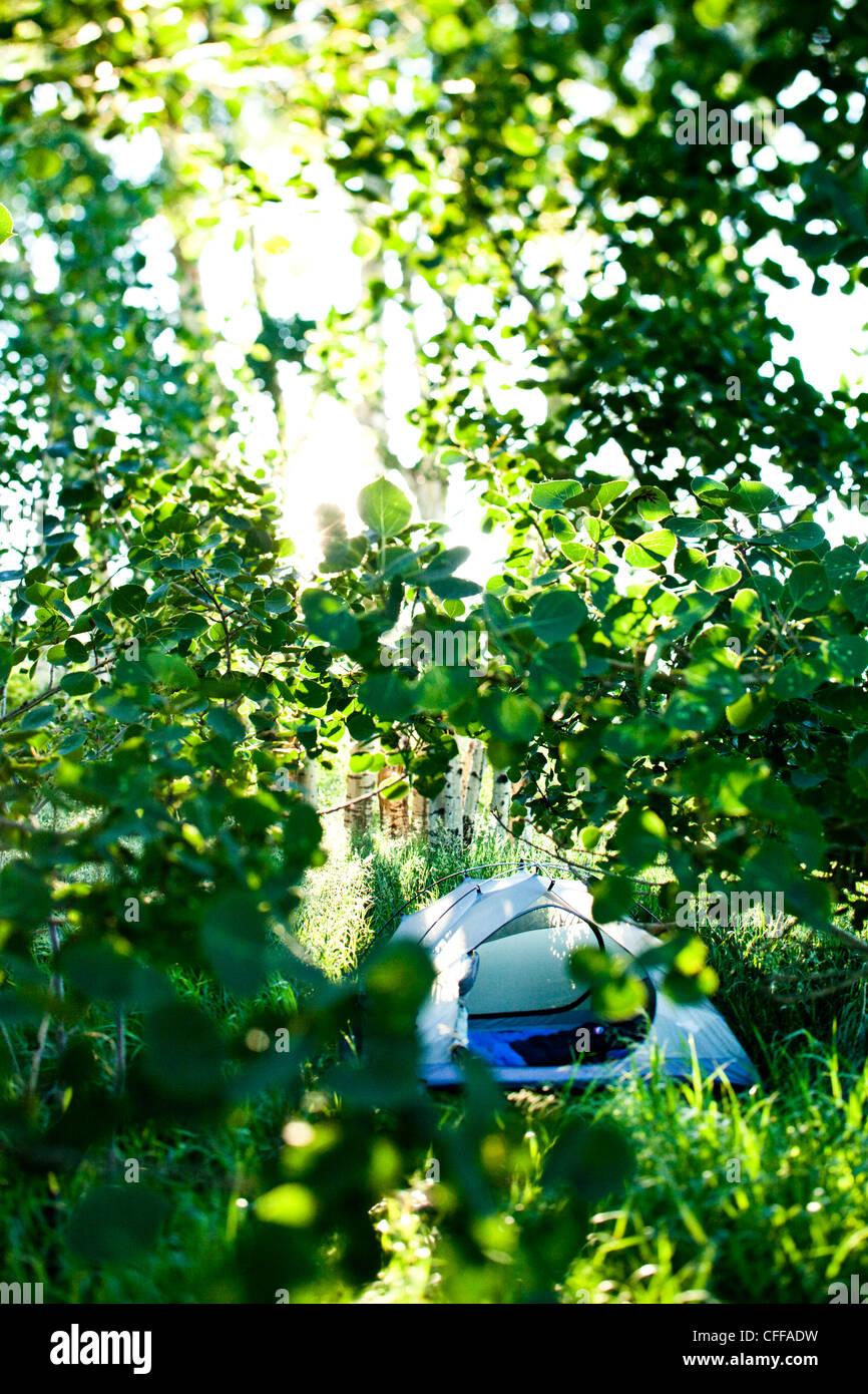 Ein Zelt ist durch Espe Blätter in Montana versteckt. Stockbild