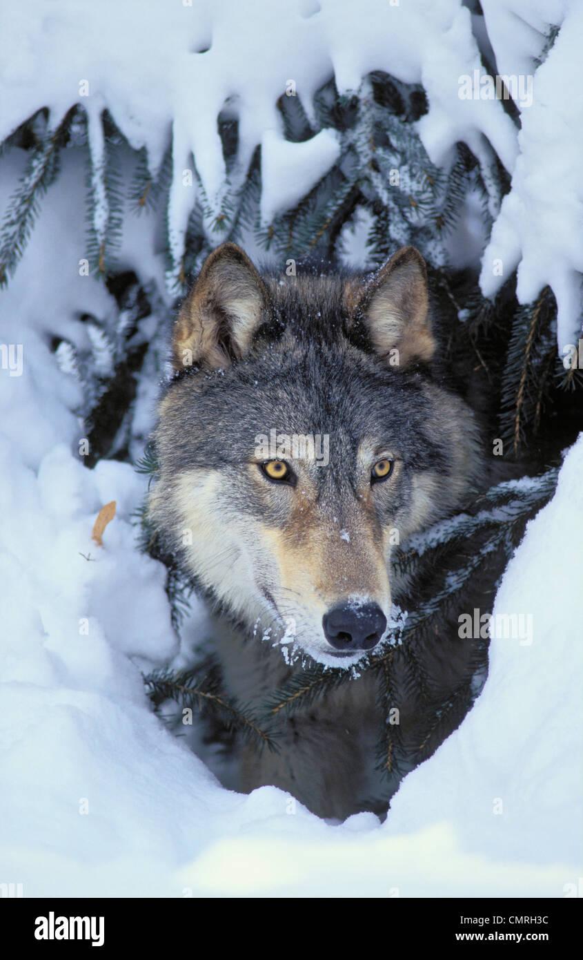 Tk0530, Thomas Kitchin; Grauer Wolf/Timberwolf. Winter. Rocky Mountains. Canis Lupus. Stockbild