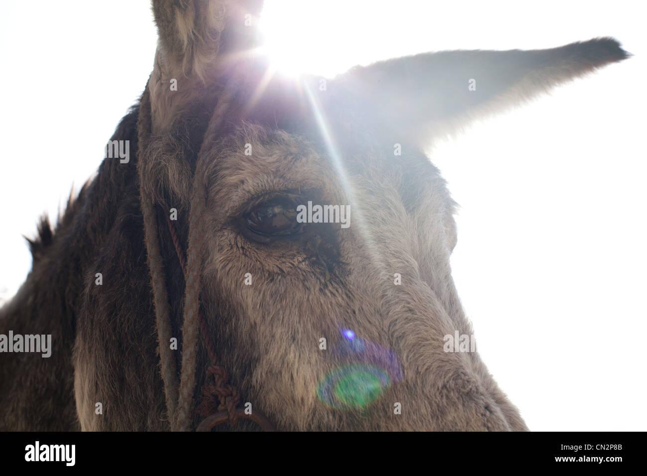 Eselskopf, Nahaufnahme Stockfoto