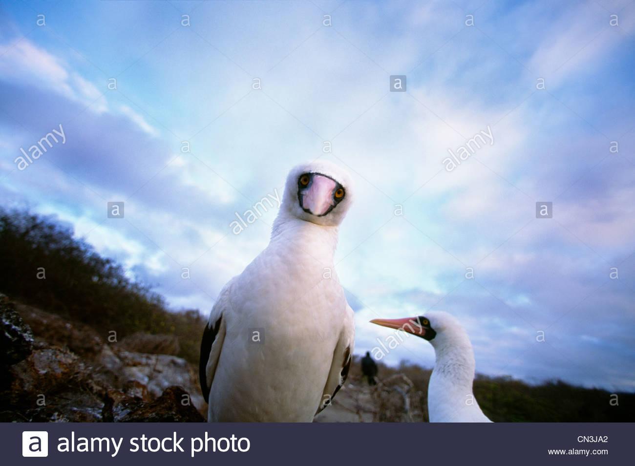 Maskierte Tölpel, Galapagos-Inseln, Ecuador Stockbild