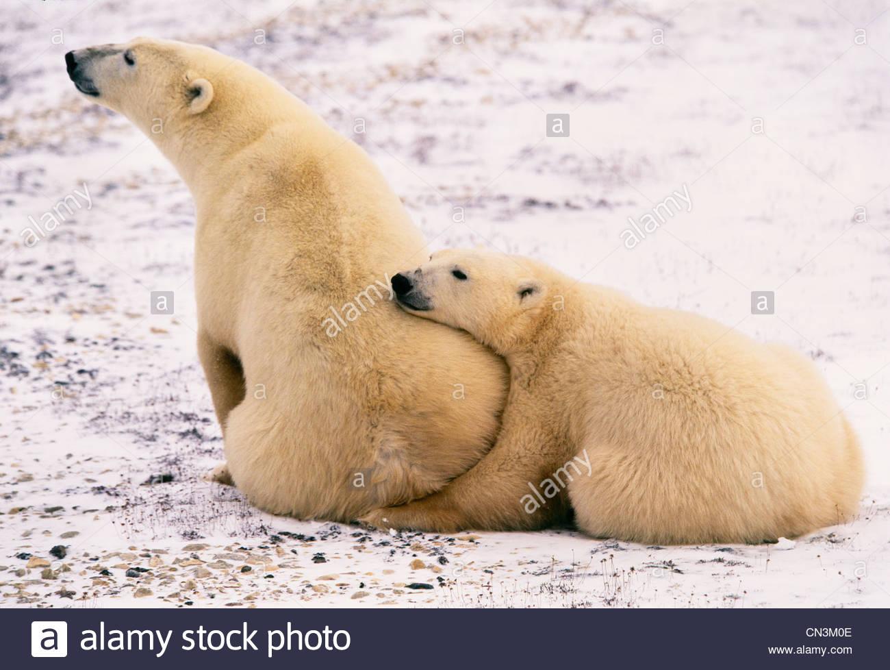 Eisbär und zweiten Jahr Cub, Churchill, Manitoba, Kanada Stockbild