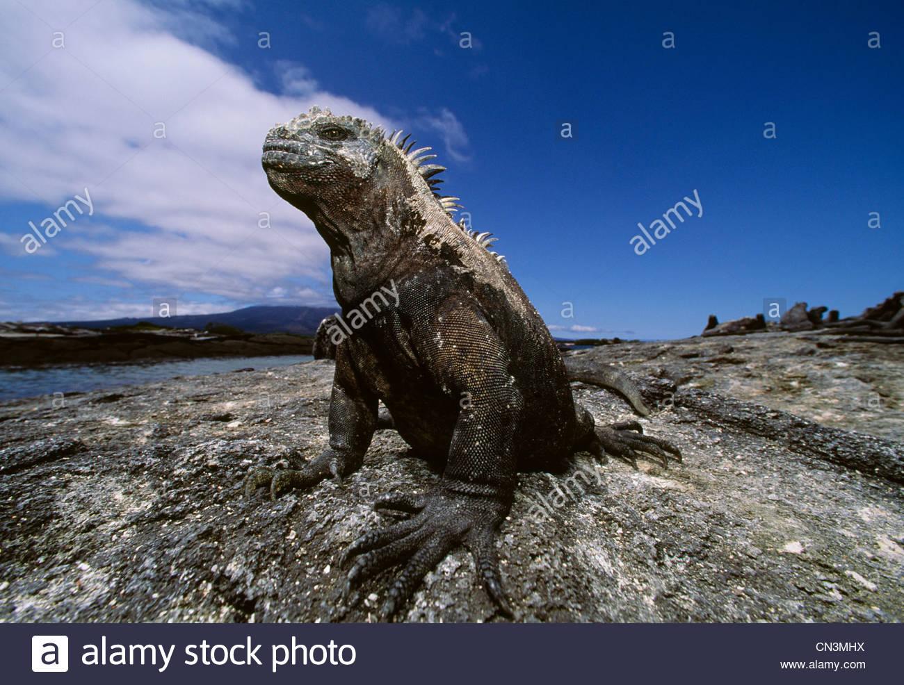 Marine Iguana, Galapagos-Inseln, Ecuador Stockbild