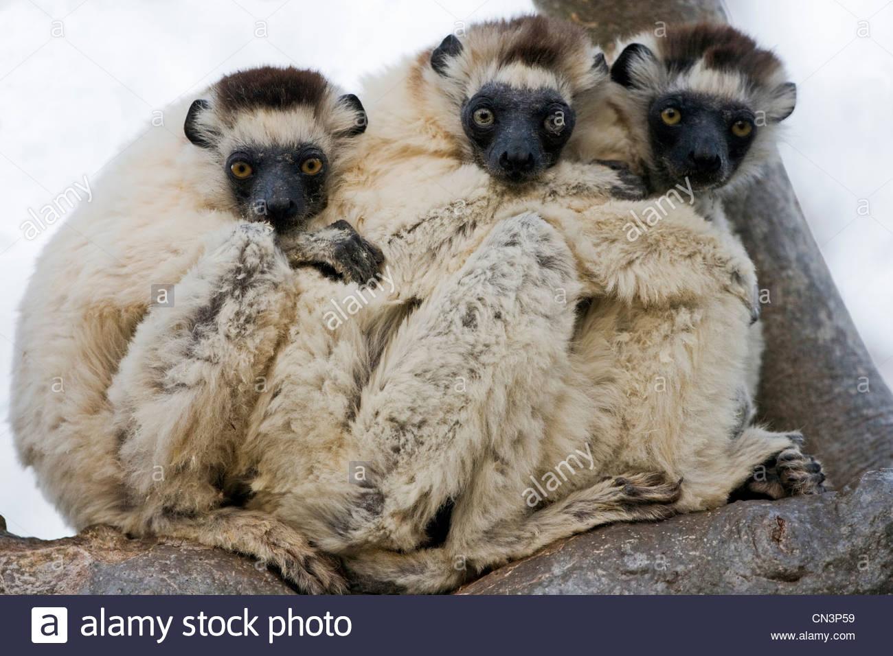 Verreaux der Sifakas, Madagaskar Stockbild