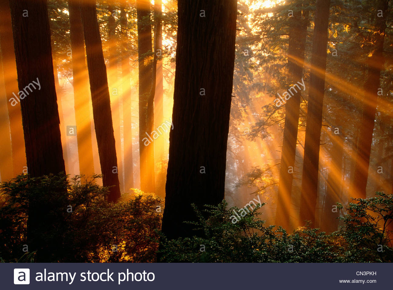 Sonnenstrahlen im Redwood National Park, Kalifornien Stockfoto