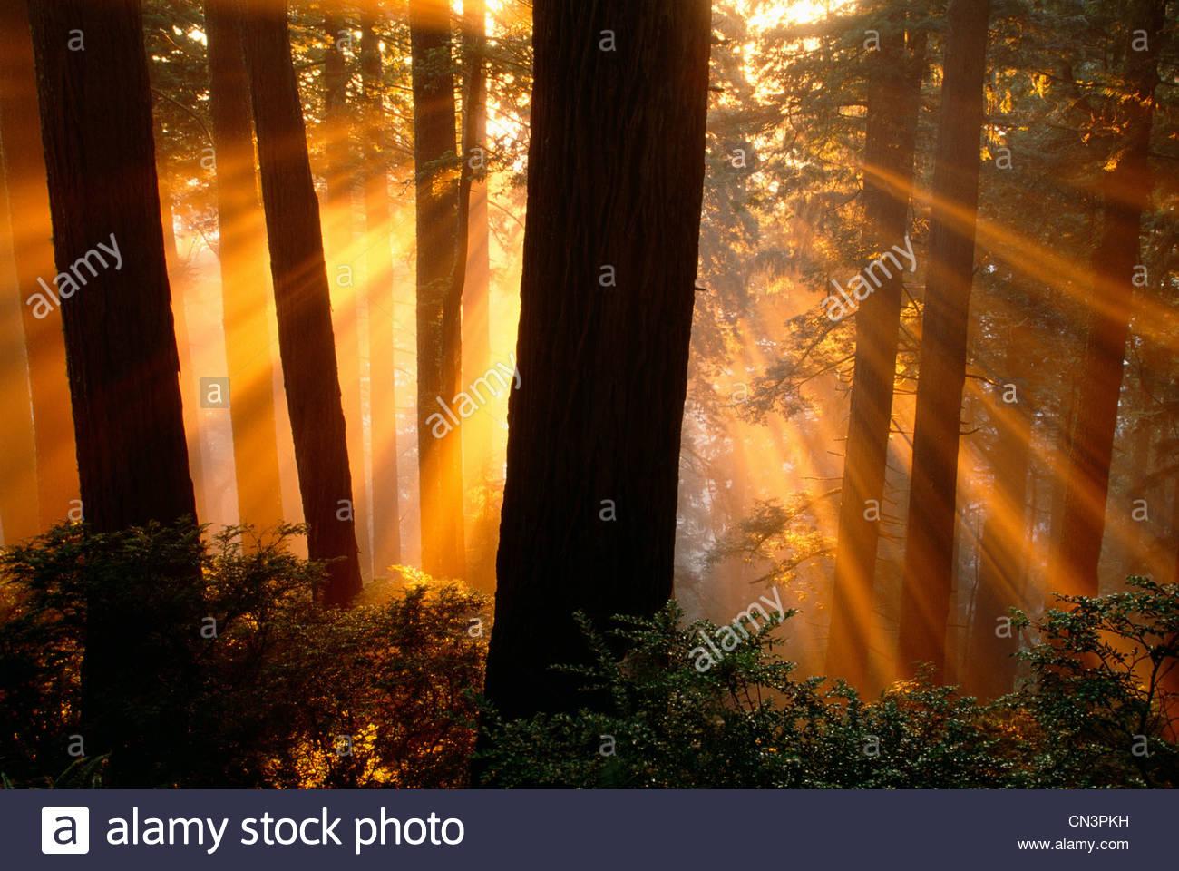 Sonnenstrahlen im Redwood National Park, Kalifornien Stockbild